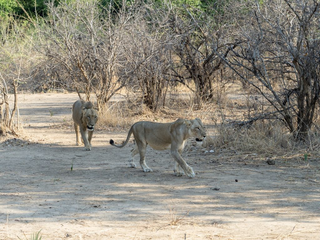 The lioness leads him away.