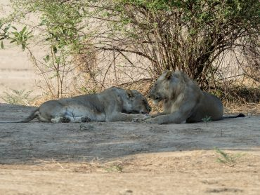 Mating Lions