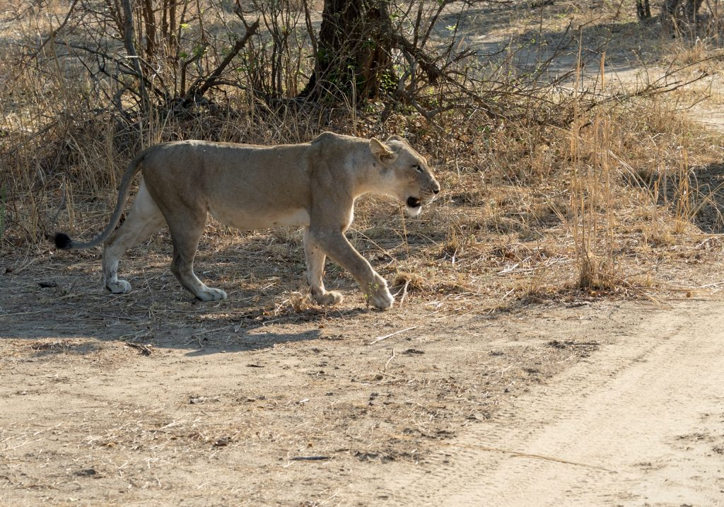 There is determination in the lioness's walk
