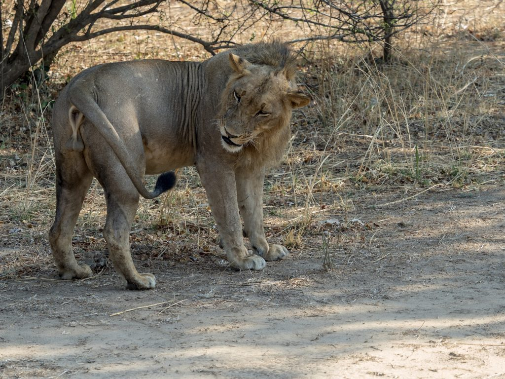 Biting insects are a problem and the lion hesitates to deal with one
