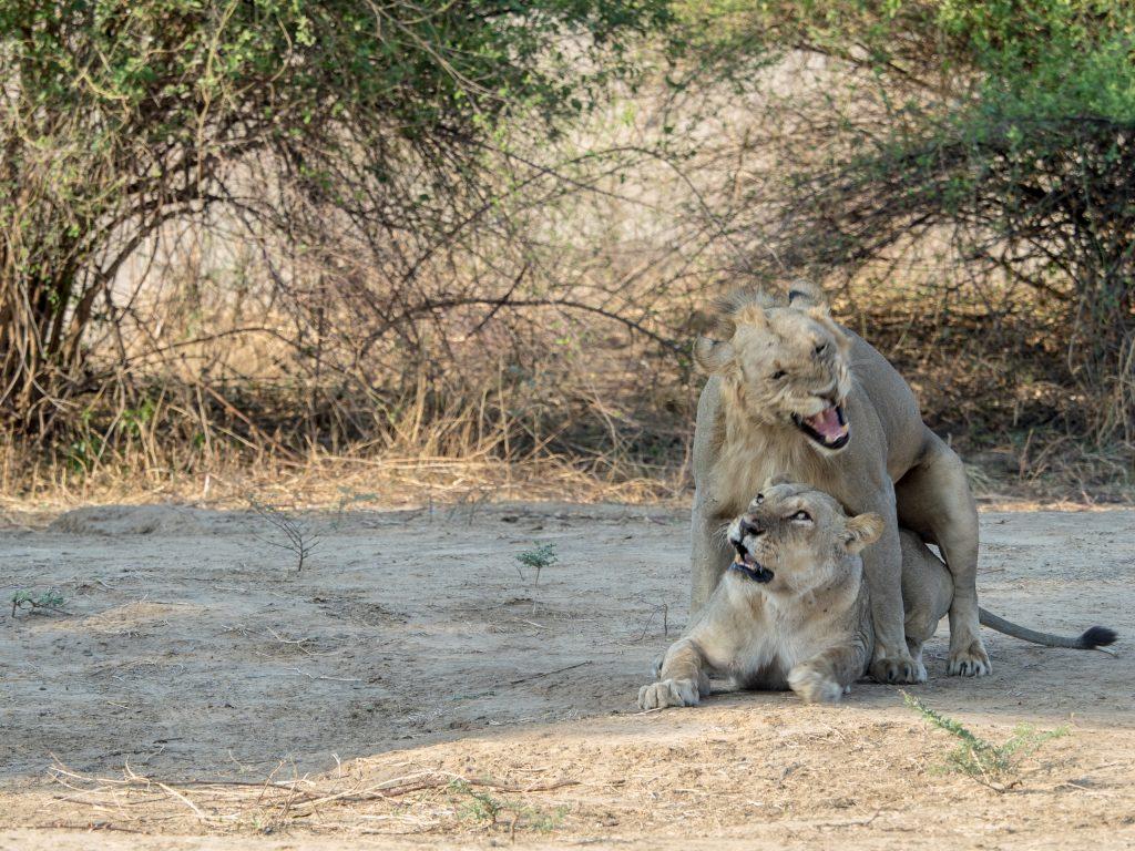 The lion builds into a roar